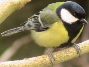 Songbirds sing songs, but also have all kinds of calls with which they communicate.